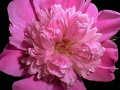 Stock Video Footage of Pink peony Flower Blooming in Time-lapse – 640x480