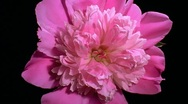 Stock Video Footage of Pink peony Flower Blooming in Time-lapse – HD