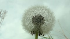 Dandelion against a lowering sky - stock footage