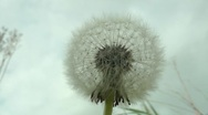 Stock Video Footage of Dandelion against a lowering sky