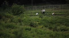 Laborers work in an agricultural field. - stock footage