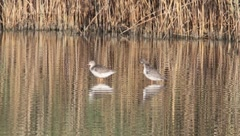 A pair of spotted redshank resting in the water / Tringa erythropus Stock Footage
