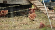 Chickens are seen on a farm through barbed wire. Stock Footage