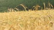 Stock Video Footage of grain field