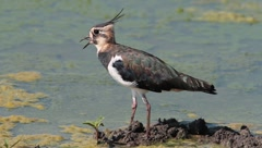 Common lapwing / Vanellus vanellus Stock Footage