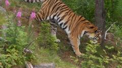 Tiger Stock Footage