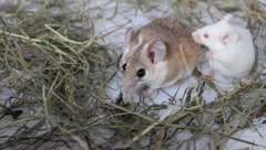 Partnership of a shrew and a white mouse Stock Footage