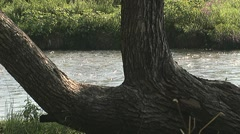 River and wilow tree 3 images Stock Footage