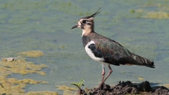 common lapwing / Vanellus vanellus - stock footage