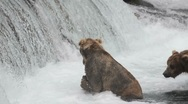 Stock Video Footage of Alaskan brown bear fishing for salmon