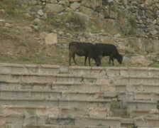 Cows on amphitheatre steps Stock Footage