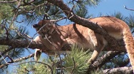 Stock Video Footage of P00234 Mountain Lion in Tree in Black Hills