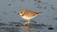 Little ringed plover looking for food on the shore / Charadrius dubius Stock Footage