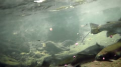 Trouts Eating Underwater Stock Footage