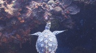 Stock Video Footage of Sea turtle and colorful reef