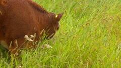 cows grazing in rain, free range - stock footage