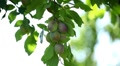 Plum Tree, Gage, Prunus, Fruits Orchard, Ecological Farmer, Organic Horticulture Footage