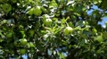 Apple Tree, Malus, Fruits Orchard, Ecological Farmer, Organic Horticulture Footage