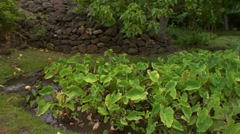 WS DOLLY, Taro patch with stone wall in back, Hawaii - stock footage