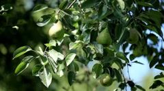Pear Tree, Pomaceous, Fruits Orchard, Ecological Farmer, Organic Horticulture Stock Footage