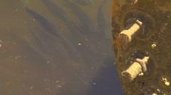 ECU fish swimming in Ala Wai Canal Stock Footage