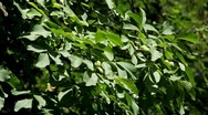 Stock Video Footage of Walnut Tree, Juglans, Fruits Orchard, Ecological Farmer, Organic Horticulture