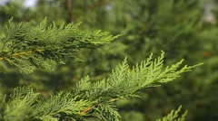 CU christmas tree needles on branches, PAN Stock Footage