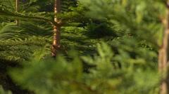 ECU christmas tree branches RACK Stock Footage