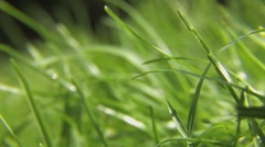 Green Grass Blowing in the Summer Breeze - Extreme Close Up, Macro HD Stock Footage
