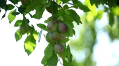 Plum Tree, Gage, Prunus, Fruits Orchard, Ecological Farmer, Organic Horticulture - stock footage