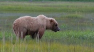 Stock Video Footage of Grizzly Bear Eats Greens