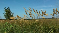 feather grass at a wind - stock footage
