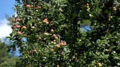 Apple Tree, Malus, Fruits Orchard, Ecological Farmer, Organic Horticulture Stock Footage