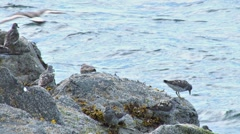 Sandpipers on a Rock 2 - stock footage