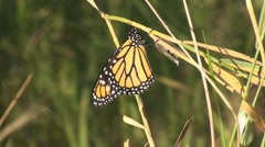 P01603 Newly Emerged Monarch Butterfly Stock Footage