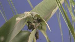 P01604 Time Lapse of Monarch Caterpillars on Milkweed Stock Footage
