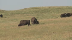 P01607 Bison Bulls Fighting Stock Footage
