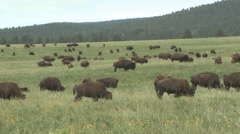 P01610 Bison Herd on Great Plains Stock Footage