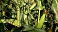Full Grown, Research, Organic, Corn Field in Summer, Tassels CloseUp Footage