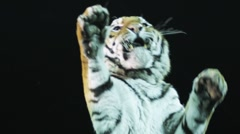 Tiger in Circus Stock Footage