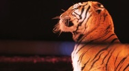 Stock Video Footage of Tiger in Circus