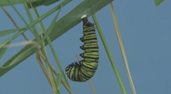 P01618 Caterpillar turning into Cocoon Stock Footage
