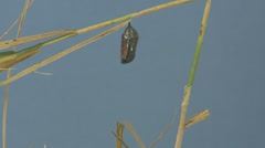 P01619 Monarch Emerging from Chrysalis Stock Footage