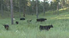 P01620 Cows on National Forest Stock Footage