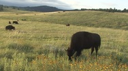 Stock Video Footage of P01623 Bison Grazing on Prairie with Wildflowers