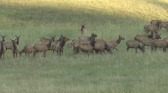 P01625 Elk Cow and Calves Calling Stock Footage