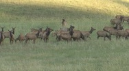 Stock Video Footage of P01625 Elk Cow and Calves Calling