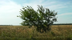 windy alone tree - stock footage