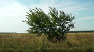 Stock Video Footage of windy alone tree