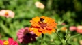 Bumble Bee Flying From Flower To Flower, Collect Pollen, Great Nature, Life Footage